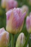 Fiori Colourful del tulipano in Polonia Fotografia Stock