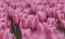 Fiori Colourful del tulipano in Polonia Immagine Stock