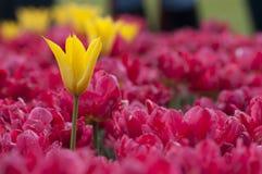 Fiori Colourful del tulipano in Polonia Fotografie Stock Libere da Diritti
