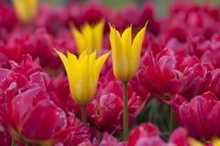 Fiori Colourful del tulipano in Polonia Immagini Stock
