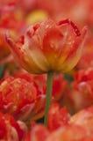 Fiori Colourful del tulipano in Polonia Immagini Stock Libere da Diritti