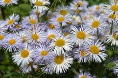 Fiori con i petali bianchi ed il nucleo giallo Fotografia Stock Libera da Diritti