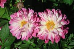 Fiori con i petali rosa e bianchi Fotografia Stock Libera da Diritti