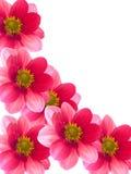 Fiori con i petali rossi e dentellare fotografie stock libere da diritti