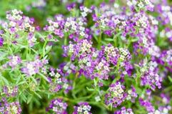 Fiori con i piccoli lossoms che fioriscono nel giardino Immagini Stock Libere da Diritti