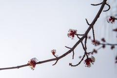 Fiori congelati di un albero coperto di neve e di ghiaccio Immagini Stock