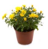 Fiori conservati in vaso del fiore del crisantemo Immagine Stock Libera da Diritti