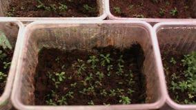 Fiori crescenti dai semi Alberelli del fiore in vasi di plastica Crescita della pianta video d archivio