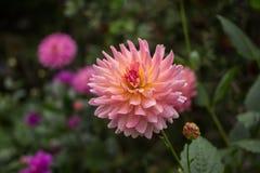 Fiori, crisantemo dei fiori Immagini Stock Libere da Diritti