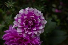 Fiori, crisantemo dei fiori Immagine Stock