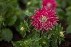 Fiori, crisantemo dei fiori Fotografie Stock Libere da Diritti