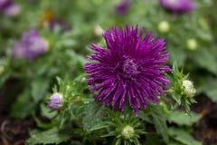 Fiori, crisantemo dei fiori Fotografia Stock Libera da Diritti