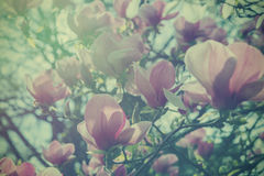 Fiori d'annata molli della magnolia di effetto Immagine Stock