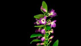 Fiori d'apertura del Dendrobium dell'orchidea stock footage