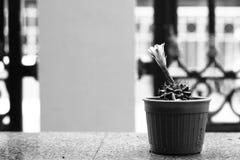 Fiori dal cactus Fotografie Stock Libere da Diritti