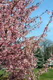 Fiori degli alberi in primavera fotografia stock