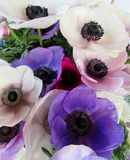 Fiori degli anemoni Fotografia Stock