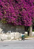 fiori dei bougainvilleas Immagine Stock Libera da Diritti