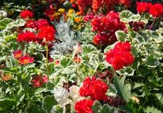 Fiori dei colori differenti con il geranio nella priorità alta fotografia stock