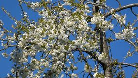 Fiori dei fiori di ciliegia stock footage