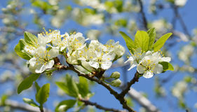 Fiori dei fiori di ciliegia Fotografia Stock Libera da Diritti