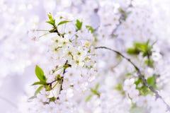 Fiori dei fiori di ciliegia un giorno di molla immagini stock