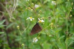 Fiori dei mendicante-segni di spunta della farfalla Fotografie Stock Libere da Diritti