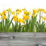 Fiori dei narcisi della primavera fotografie stock libere da diritti