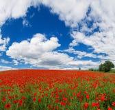 Fiori dei papaveri rossi Paesaggio di estate con i papaveri rossi immagine stock libera da diritti