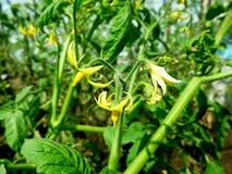 Fiori dei pomodori Macro foto del grano saraceno del fiore con il fuoco selettivo Immagine Stock