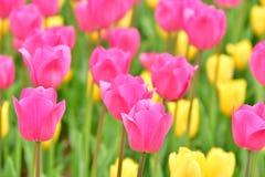 Fiori dei tulipani immagini stock