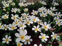 Fiori dei tulipani bianchi Fotografia Stock Libera da Diritti