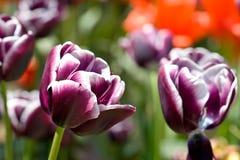 Fiori dei tulipani bianchi e fioritura viola della sorgente fotografie stock