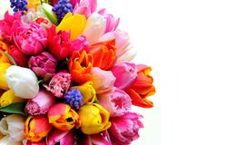 Fiori dei tulipani della primavera sui precedenti bianchi Fotografie Stock