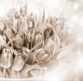 Fiori dei tulipani di seppia Immagini Stock