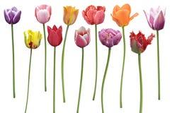 Fiori dei tulipani in una fila Fotografia Stock Libera da Diritti