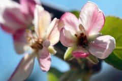 Fiori del Apple fotografie stock