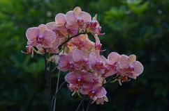 Fiori del batik dell'orchidea Fotografia Stock Libera da Diritti