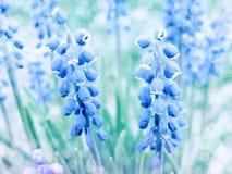 Fiori del blu della primavera Fotografia Stock Libera da Diritti
