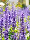 Fiori del blu della primavera Fotografia Stock