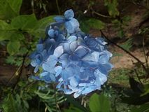 Fiori del blu di Srilanaka immagine stock