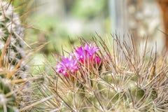Fiori del cactus immagine stock