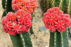 Fiori del cactus fotografia stock