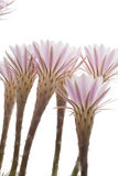 Fiori del cactus Immagini Stock Libere da Diritti