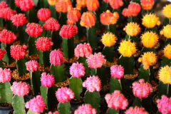 Fiori del cactus Fotografia Stock Libera da Diritti