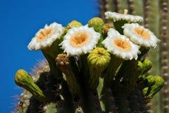 Fiori del cactus del saguaro Fotografia Stock Libera da Diritti