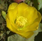 Fiori del cactus fotografie stock libere da diritti