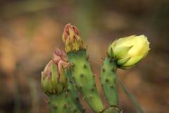 Fiori del cactus, una pre-fioritura di tre germogli Fotografia Stock Libera da Diritti