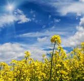 Fiori del Canola con cielo blu ed il sole Fotografie Stock Libere da Diritti