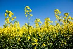Fiori del Canola con un cielo blu immagini stock libere da diritti